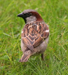Getting closer (foxypar4) Tags: male bird grass scotland sparrow mystreet sutherland dornoch