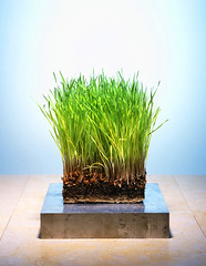 Square Grass (glyphin ( Bunderful )) Tags: green grass studio aluminum lab wheat grow roots bio science dirt health growing biology eco wheatgrass germinate vitality nutrients