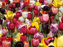 Tulips (Sister72) Tags: flowers colors beautiful spring colorful tulips gorgeous nj bunches monmouthcounty oceantownship abigfave abigfav