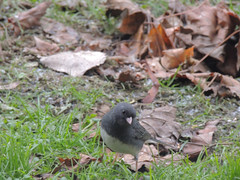 2016 - December (PeaSoup Gallery) Tags: backyard birds feeders indiana winter darkeyed junco