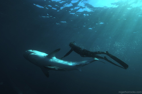 Diver Touching a Tiger Shark