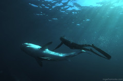 TigerLove (Pelagic Drifter) Tags: light shark freediving rays apnea shoal tigershark aliwal abigfave earthtouchcom