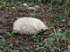 Wildlife of the British Isles #42 - The Haggis