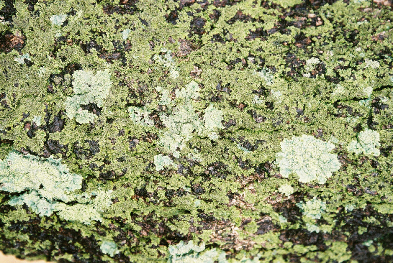 Moss, Lichen, She-oak