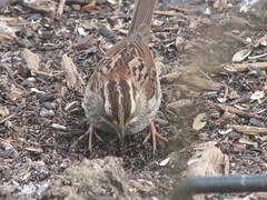 white throated sparrow kicking