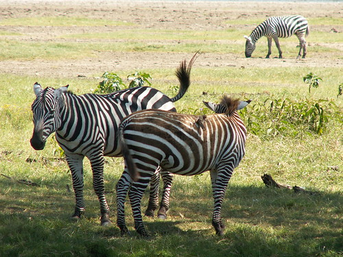 Zebra: Safari to the Lake Nakuru National Park