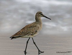 Takin' A Stroll 2 (raineys) Tags: bird art nature photoshop willet birdphoto featherfriday abigfave
