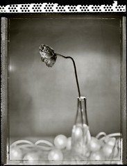 Poppy - Just Opened (T. Scott Carlisle) Tags: flower film polaroid poppy 4x5 type55 tsc shenhao artlibre tphotographic tphotographiccom tscarlisle tscottcarlisle