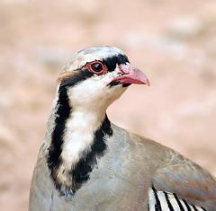 Chukar partridge - by Doug Greenberg