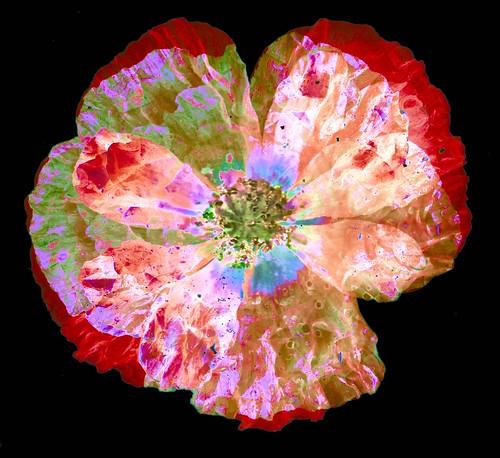Poppy Scan 2