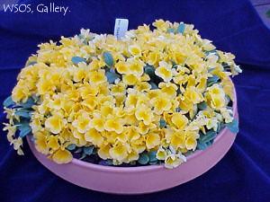 Dendrobium jenkinsii 'Kusaf' ACC/AOC