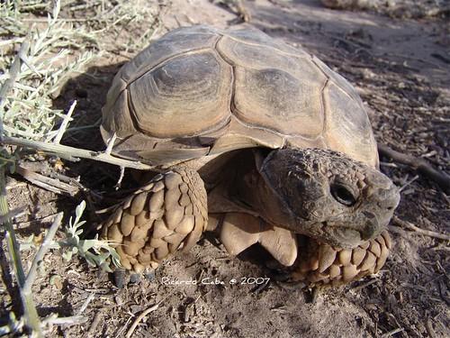 tortuga de tierra,