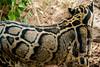 Clouded leopard spots (Heather Leah Kennedy) Tags: animal animals sanantonio cat zoo texas furcoat spots leopard cloudedleopard sanantoniozoo