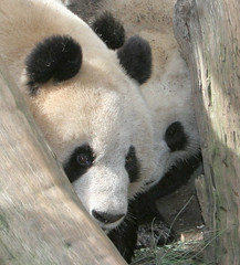 This is the last picture of Bai Yun and her cub Su Lin together (kjdrill) Tags: china california usa baby giant zoo cub panda sandiego bears mother fv10 baiyun offspring pandas endangeredspecies weaning sdzoo sulin impressedbeauty fcawinner