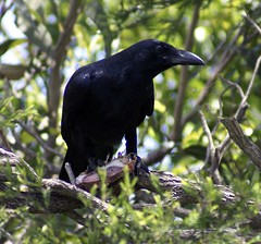 Crow Meat can  Boosts Sexual Potency