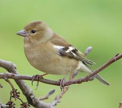 Chaffinch (Fringilla coelebs) - by freebird4