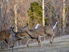 Run, She's Got a Camera! (cindy47452) Tags: wild animal fat indiana running deer orangecounty whitetail