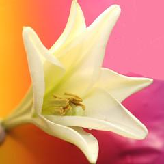 Lelie .. . (Truus) Tags: white color nice wit lelie truus gtaggroup goddaym1 abigfave wowiekazowie