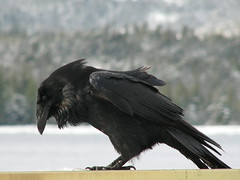 "Quoth the raven, ""Nevermore"" (glacierman) Tags: winter alaska ketchikan corvuscorax commonraven avianexcellence"