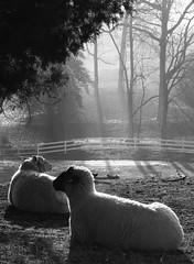 Early Morning Warmth (rivadock4) Tags: morning sun bravo sheep searchthebest breath magicdonkey canonxti canons60macro impressedbeauty flickrenvy potwkkc29