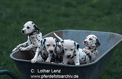 Dalmatiner (Lothar Lenz) Tags: hundewelpe hundewelpen welpe welpen puppy puppies whelp whelps geschwister brothersandsisters tiere saeugetier saeugetiere haustier haustiere haushund haushunde hund hunde animals mammal mammals carnivores beastsofprey domesticanimal domesticanimals pet pets domesticdogs dog tierkinder jungtier jungtiere tierjunge tierjunges niedlich drollig possierlich putzig suess younganimal younganimals juvenile neat cute droll funny sweet cane canis chien lotharlenz perro jungen juvenil hunddalmatiner hundwelpe hundlustig
