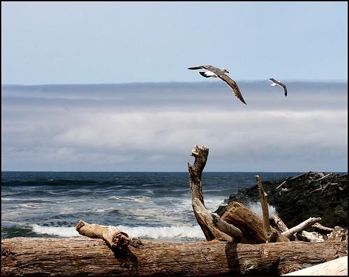 Bandon Gulls2