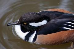 Male Hooded Merganser (tammyjq41) Tags: duck searchthebest waterfowl tjs blueribbonwinner northcarolinazoo tjd animalkingdomelite impressedbeauty avianexcellence