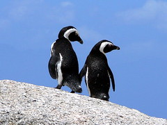 Boulder Beach; penguins in love (lisa sch.) Tags: africa sky love beach animal rock penguin south blau pinguin südafrika simonstown rsa tier felsen westerncape boulderbeach doublebeauty miriam63