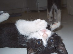 Knockout !!! (L.Lukatsky) Tags: cats white black cute colors cat fight paw kitten floor gatos paws kissablecat