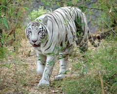 White Tiger (K. Shreesh) Tags: india zoo bravo pune whitetiger sonydsch1 supershot 10faves specanimal colorphotoaward impressedbeauty superbmasterpiece wowiekazowie