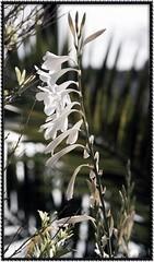 Flower (Adri@nUS) Tags: california s3pro 105mmf28dmicro