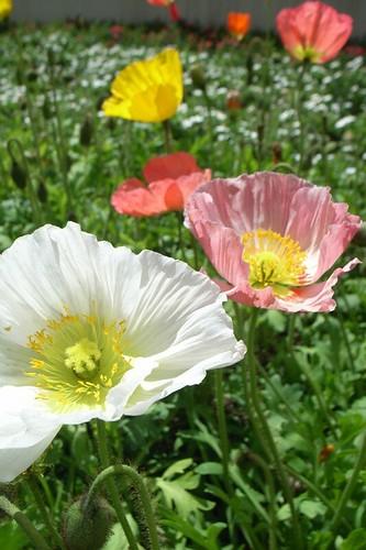 poppy starts to bloom