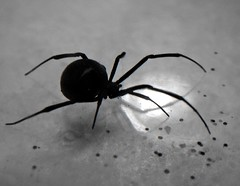 Black Widow Spider (B&W)