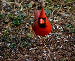 Front View (mightyquinninwky) Tags: morning red orange brown black male green bird grass birds spring cardinal kentucky seed pineneedles lexingtonky frontyard chevychase redbird sunflowerseeds  fontaineroad   centralkentucky  ashlandhistoricarea