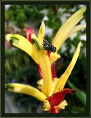 Blow Fly peering into the Heliconia, captured March 10, 2007