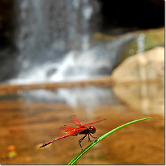 Red Dragon Fly (jay_kilifi) Tags: red macro green nature pool beautiful grass waterfall paradise dragonfly kenya earth falls tropical splash cascade watefall beautifulearth reddragonfly shimba supershot goldenphotographer sheldricks macrophotosnolimits bfgreatesthits