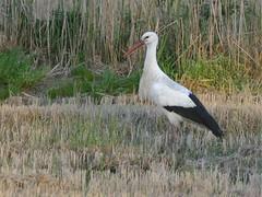 Cegonha branca - Ciconia ciconia - White Stork - by Jose Sousa
