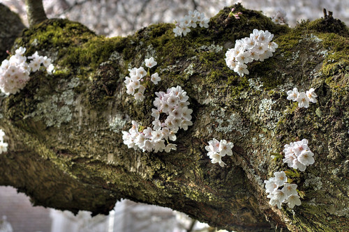 Yoshino Cherry Tree Branch