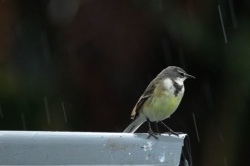 Cape Wagtail in the rain