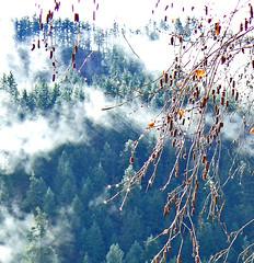 Hilltop (ramparts54) Tags: trees fog closeup morninglight hometown birch hillside washingtonstate catkins klickitat ponderosapine specnature diamondclassphotographer flickrdiamond