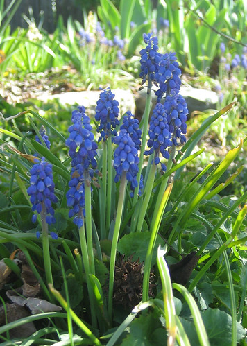 Muscari: Grape Hyacinths