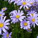 Blue Daisies (Felicia amelloides)