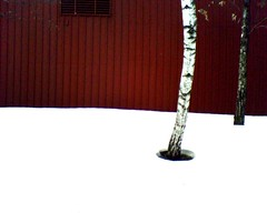 snowy + birch v. red - by suttonhoo