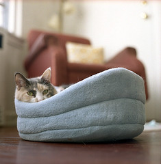 cliffy_kittybed (e50e) Tags: blue color cat mediumformat kitty greeneyes kowa cliffy kowasix