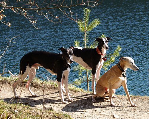Whippets at Hechtsee 25.3.07