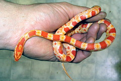 Zoey the corn snake (parkerdepot) Tags: corn snake reverse okeetee
