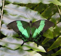Emerald Swallowtail Butterfly (Jeanie's Pics) Tags: butterfly wings magicwings naturesfinest specnature emeraldswallotail wtmwchallengewinner