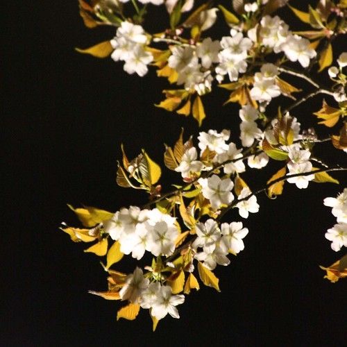cherry blossom in night