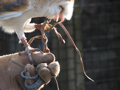 barn owl escape (physalia) Tags: england holiday birds animals cumbria owls barnowl 2007 worldowltrust muncastercastle