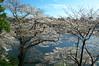 千鳥ヶ淵 桜②